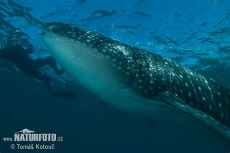 Rhincodon typus Pictures, Whale Shark Images, Nature