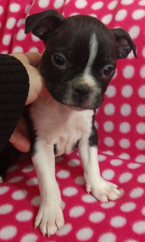 Boston Terrier Puppies For Sale | Cleveland, NC #286377