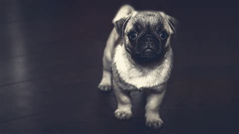 Free Pug Puppy Chromebook Wallpaper Ready For Download